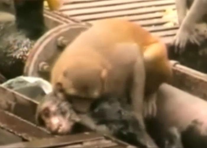21.dez.2014 - O macaco salvador tentou de tudo para acordar o animal - bater, morder e até mergulhá-lo na água -, mas nada pareceu funcionar.
