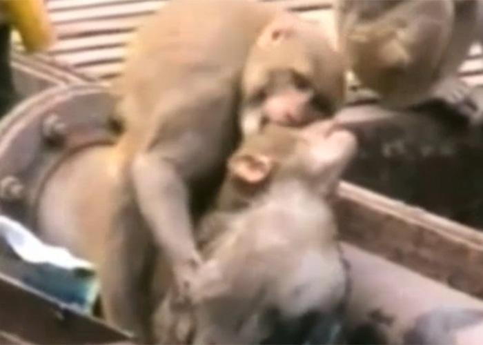 21.dez.2014 - O macaco salvador tentou de tudo para acordar o animal - bater, morder e até mergulhá-lo na água -, mas nada pareceu funcionar. Na imagem, o animal demonstra desespero.