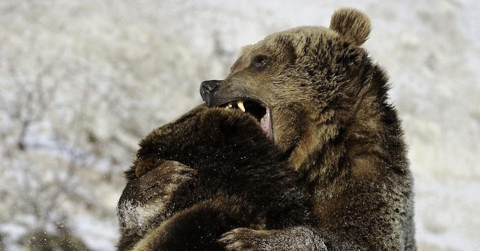 19.dez.2014 - Na imagem, registrada pelo fotógrafo Don Johnston, dois ursos brigam na neve, em Montana, nos Estados Unidos