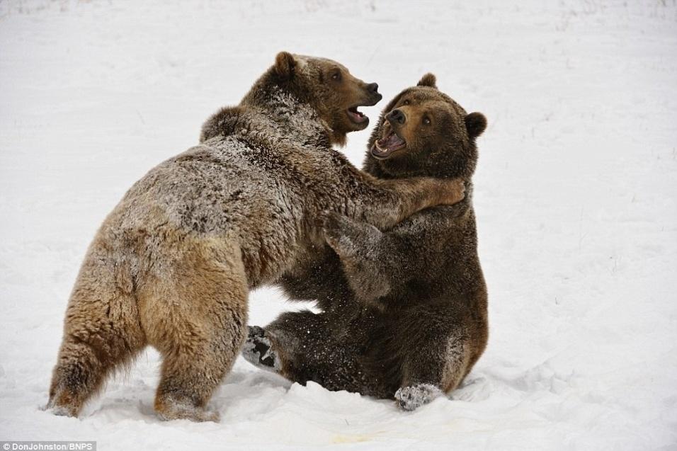 """19.dez.2014 - O fotógrafo Don Johnston conseguiu flagrar o momento em que dois ursos brigavam em uma área reservada à espécie em Montana, nos Estados Unidos. Nas imagens, é possível ver os dois animais duelando na neve. """"A força destes bichos é incrível. O chão tremeu quando eles rolaram"""", contou Johnston ao Daily Mail"""