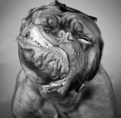 6.jan.2014 - O cão parece fazer careta ao ser flagrado se chacoalhando. O flagra do fotógrafo Carli Davidson integra uma seleção das melhores 30 imagens de animais em movimento que está circulando na web
