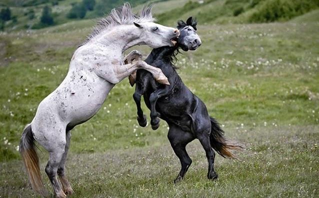 6.jan.2014 - Briga de cavalos. O flagra do fotógrafo Vedran Vidak integra uma seleção das melhores 30 imagens de animais em movimento que está circulando na web