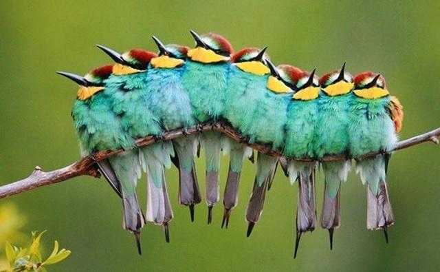 6.jan.2014 - Uma seleção com as 30 melhores imagens de animais em movimento está circulando na web. Nesta foto, do fotógrafo José Luis Rodríguez, os passarinhos parecem uma coisa só, de tão juntos que estão.
