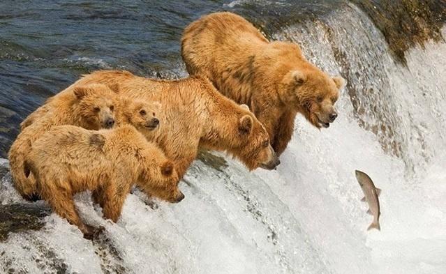 """6.jan.2014 - Os ursos estão querendo muito """"pescar"""" o peixe. Será que tiveram coragem de descer? O flagra reproduzido integra uma seleção das melhores 30 imagens de animais em movimento que está circulando na web"""