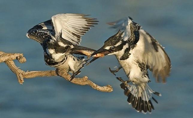6.jan.2014 - Parece que há uma briga entre os pássaros por um alimento. O flagra do fotógrafo Yaki Zander integra uma seleção das melhores 30 imagens de animais em movimento que está circulando na web