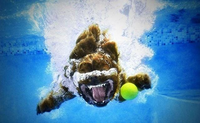 6.jan.2014 - A imagem mostra um cachorro debaixo d'água atrás de uma bola de tênis. O flagra do fotógrafo Seth Casteel integra uma seleção das melhores 30 imagens de animais em movimento que está circulando na web