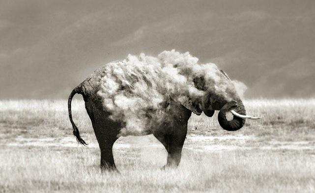 6.jan.2014 - Elefante até parece ter pelo de cordeiro! O flagra do fotógrafo Marina Caso integra uma seleção das melhores 30 imagens de animais em movimento que está circulando na web