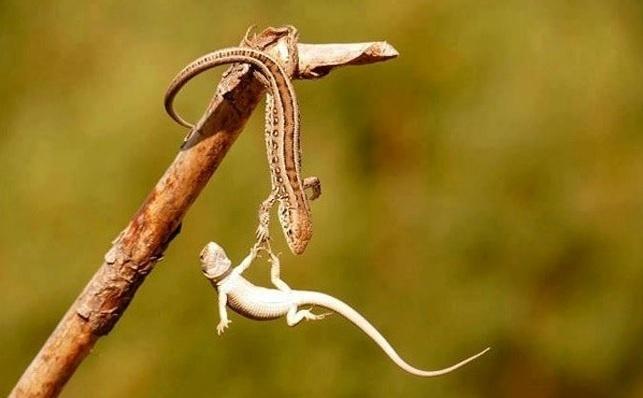 6.jan.2014 - Um lagarto salva o outro de uma queda. O flagra do fotógrafo Mahmoud Edeeb integra uma seleção das melhores 30 imagens de animais em movimento que está circulando na web
