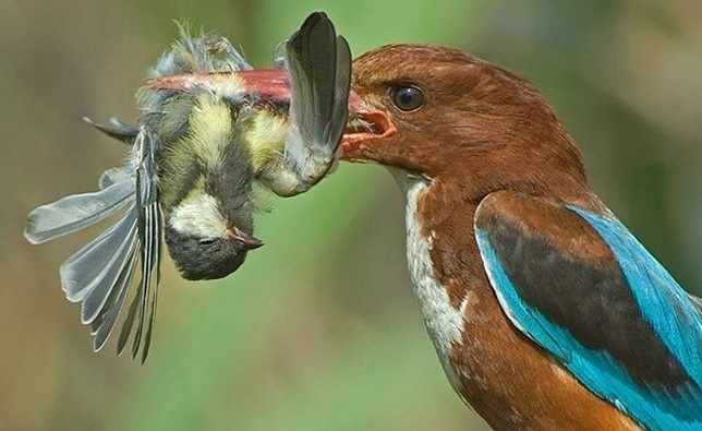 6.jan.2014 - Passarinho é fotografado devorando uma ave menor. O flagra do fotógrafo Yaki Zander integra uma seleção das melhores 30 imagens de animais em movimento que está circulando na web