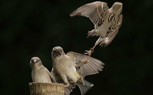 6.jan.2014 - Um passarinho parece não querer que o outro saia de perto. O flagra do fotógrafo Urs Schmidli integra uma seleção das melhores 30 imagens de animais em movimento que está circulando na web