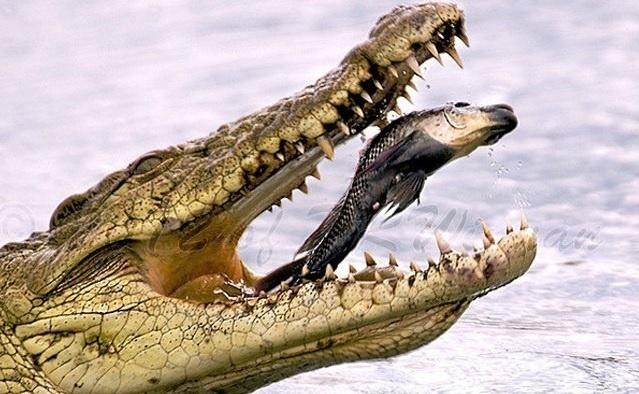 6.jan.2014 - Um peixe aparece dentro da boca de um crocodilo. O flagra reproduzido integra uma seleção das melhores 30 imagens de animais em movimento que está circulando na web