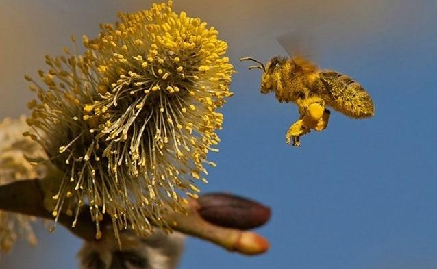 6.jan.2014 - Uma abelha cheia de pólen foi clicada pelo fotógrafo Urs Schmidli. O flagra do fotógrafo Urs Schmidli integra uma seleção das melhores 30 imagens de animais em movimento que está circulando na web