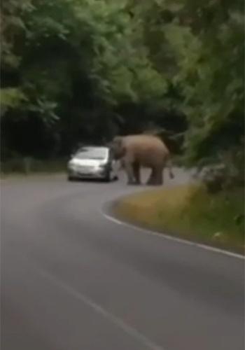 """13.jan.2015 - Imagine a situação: você está passeando de carro por um parque quando de repente um elefante aparece na via e amassa o seu veículo subindo em cima dele. Pois foi o que aconteceu no parque nacional de Khao Yai, na Tailândia. Um elefante """"furioso"""" esmagou quatro carros de visitantes em um período de 10 dias. O último ataque foi filmado e aconteceu no sábado (10)."""