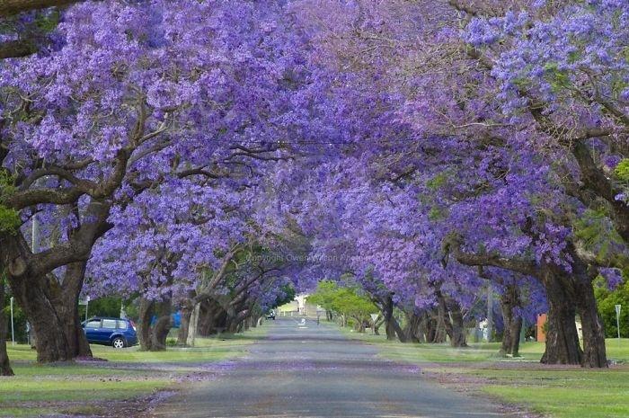 2.fev.2015 - Esta arborizada rua em Grafton, na Austrália, integra o time das mais belas do mundo, segundo lista do site gringo Bored Panda