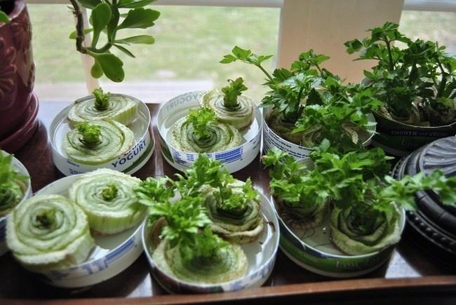 20 - É possível replantar restos de erva. Existem diversos tipos ervas e até legumes e frutas que crescem a partir de pedaços plantados
