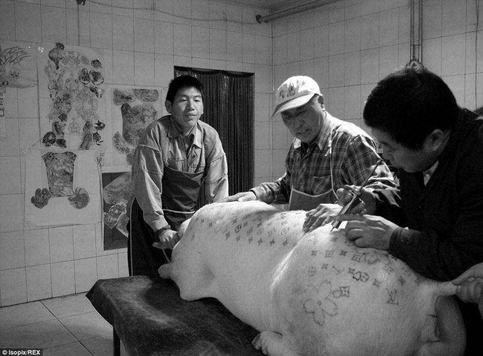20.mar.2015 - Na imagem, três artistas tatuam um porco. Antes de receber os desenhos na pele, os bichos são anestesiados