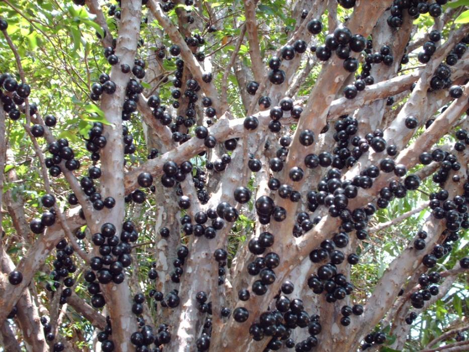 Well-known Veja 10 árvores frutíferas para plantar em vasos na semana do Meio  DX59