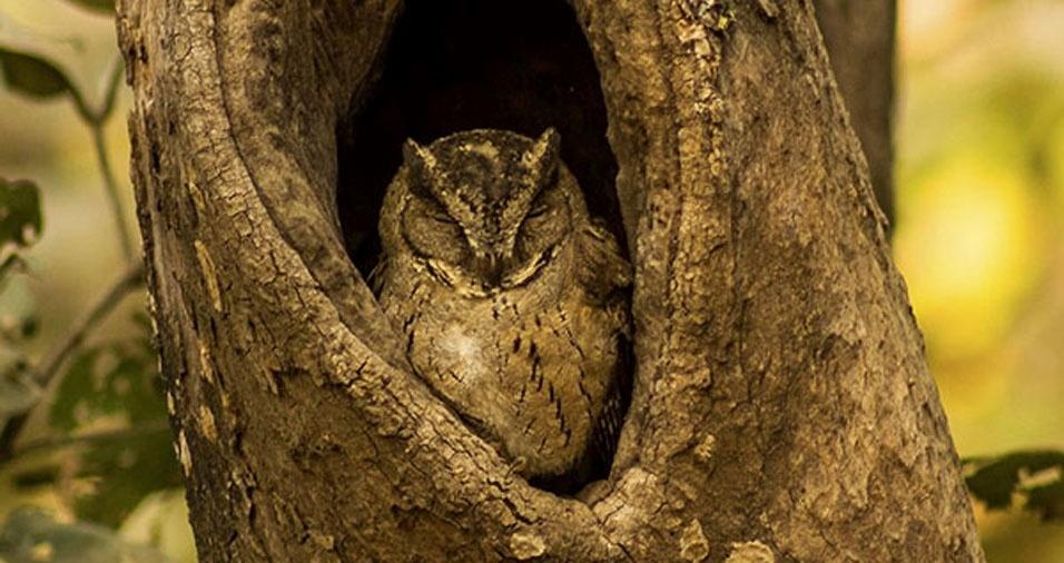 1. Corujinha-do-mato escondida no oco de uma árvore