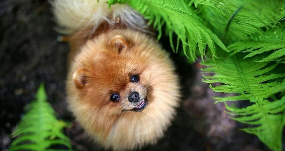 15. A raça Lulu da Pomerânia parece ter surgido para ser uma bolinha perfeita de pelos