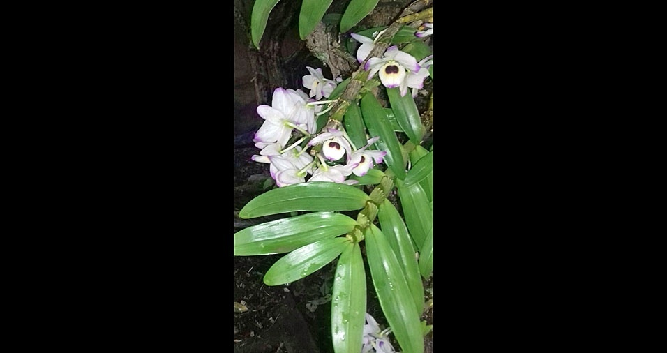 Jose Ricardo Pauli, de Itatiba (SP), mostra sua linda orquídea