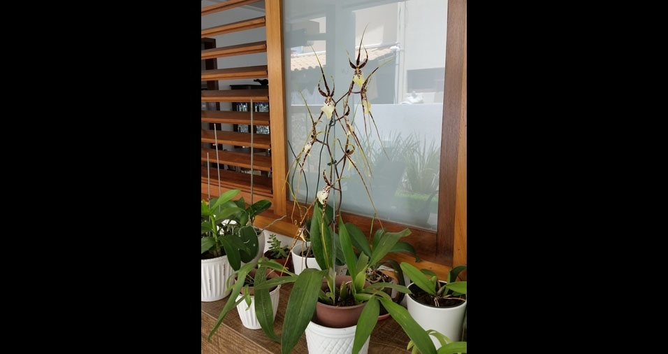 """Luiz Ernesto, de Natal (RN), enviou foto de um exemplar de Miltassia Kauai's Choice """"Pacific Paradise"""""""