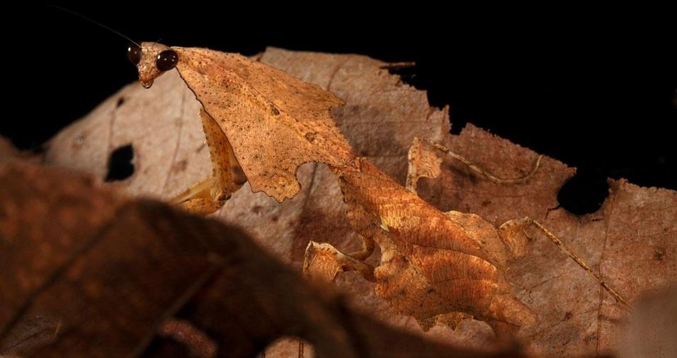 21. Bicho-folha assume a aparência das folhas secas