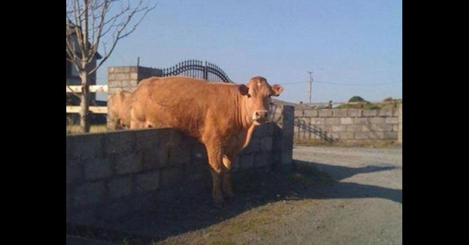 33. E uma vaca pulando o muro?