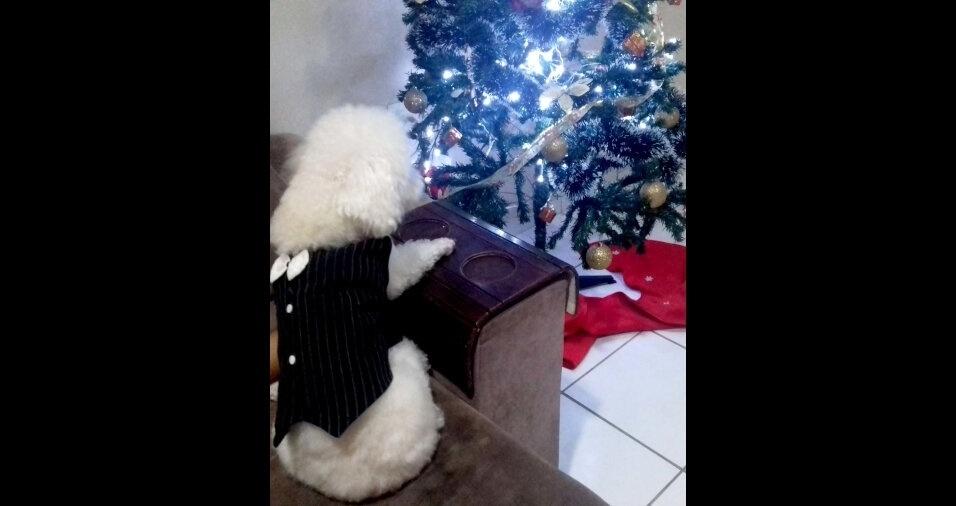 Kaddu, o cãozinho da Iara Silva, observando a árvore de Natal