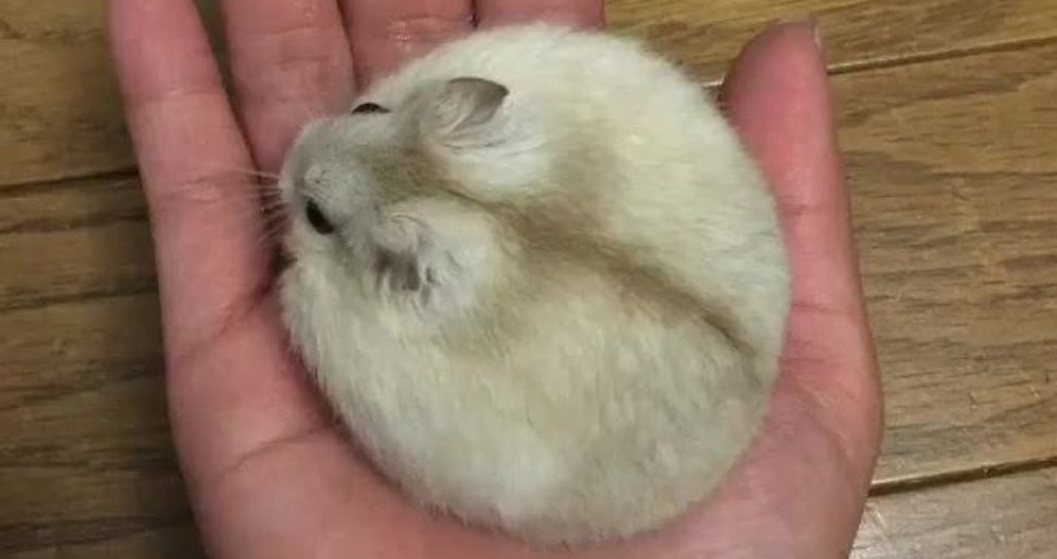 34. Uma bolinha de pelos que cabe na palma da mão