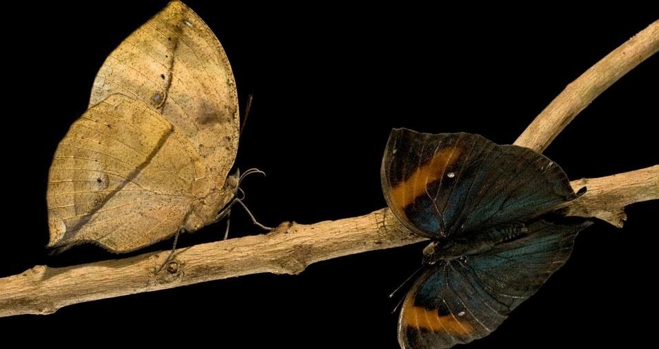 25. Borboleta da folha seca, assim denominada pelas cores das asas