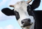 A história da vaca búlgara que será sacrificada por atravessar a fronteira da União Europeia (Foto: Reprodução/Universcity)
