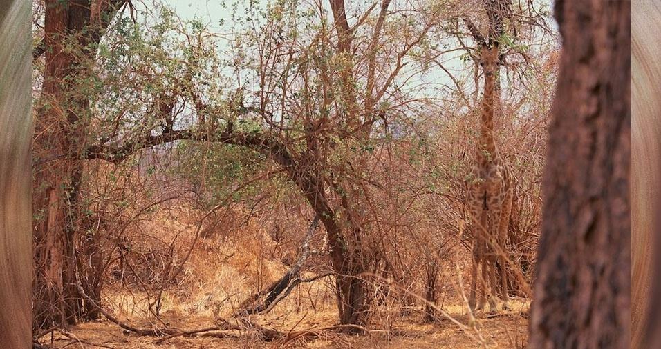 12. Girafa