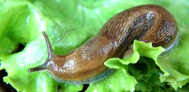 Reprodução/All About Slugs