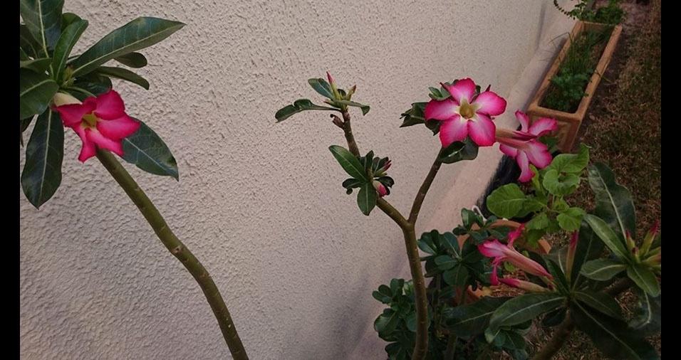 Tiago, de Ribeirão Preto (SP), e sua Rosa do Deserto (Adenium)