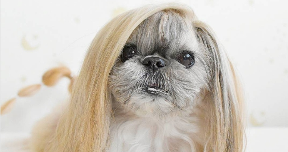 """1. Você acha seu cabelo lindo? Já viu os fios dessa cachorrinha? A pequena Kuma, que significa """"urso"""" em japonês, é uma mistura das raças shih tzu e pequinês e faz sucesso com seu estilo capilar para lá de arrasador"""
