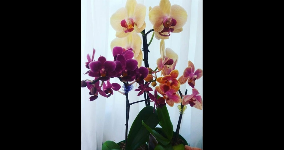 Adriana Ribeiro Marcon, de Constantina (RS), mostra sua linda orquídea