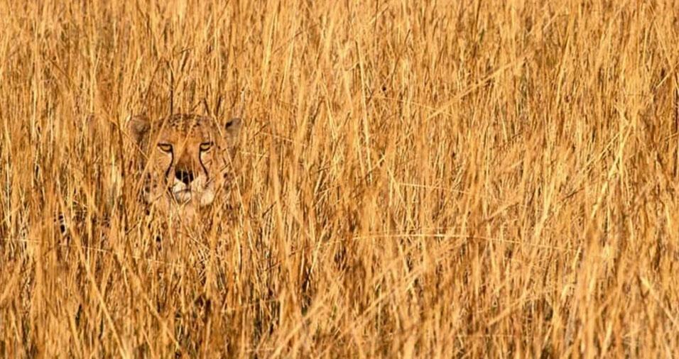 32. Leopardo procurando algo para comer
