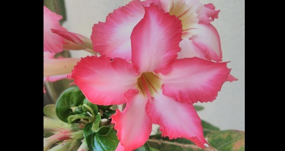Enaldo dos Santos, de Aparecida de Goiânia (GO), registrou a Flor do Deserto no condomínio onde mora