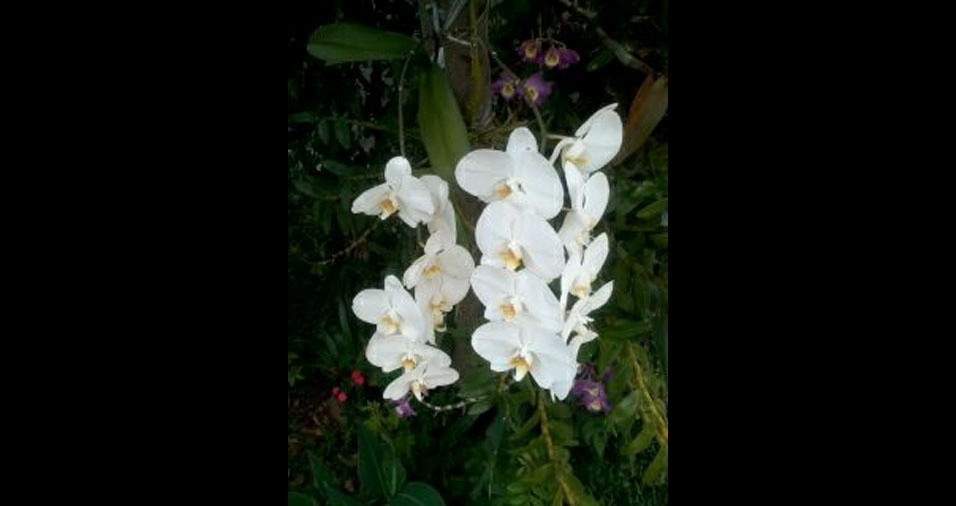 Darcília Oliveira, de Guarujá (SP), mostra suas orquídeas