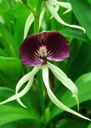 Reprodução/orchids.la.coocan.jp