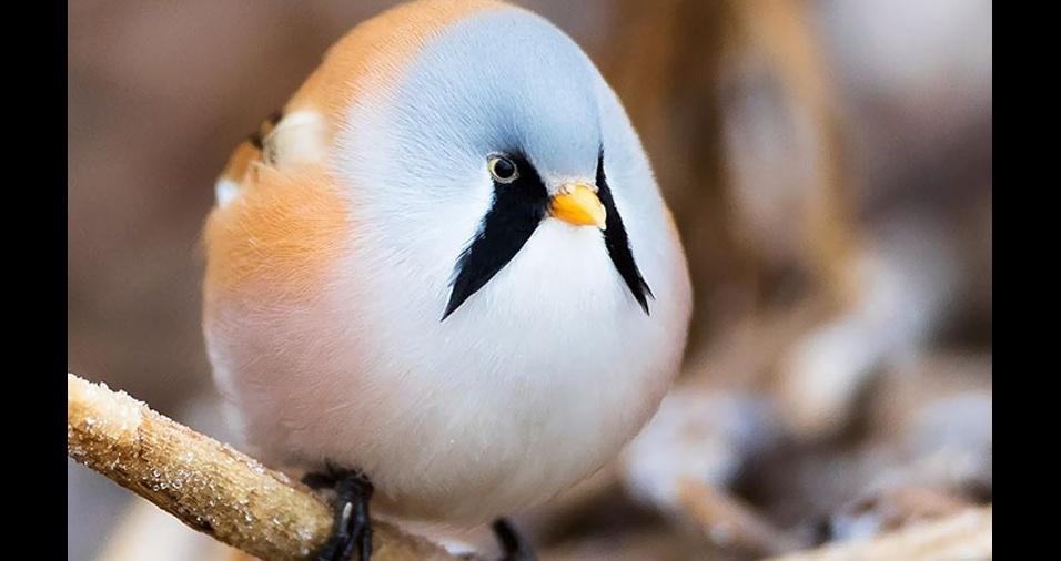 38. Um pássaro bem redondo