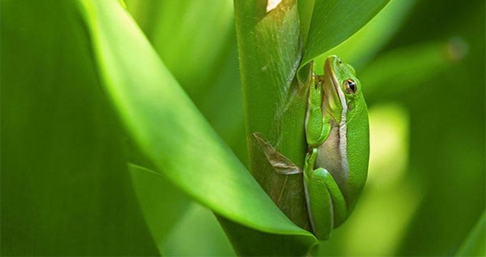7. Um minúsculo sapinho verde, encontrado no jardim botânico de Norfolk, na Virgínia, EUA
