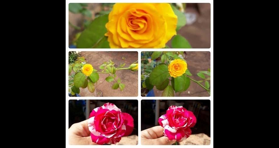 """Maria Lívia, Pontal (SP): """"rosas mesclada e amarela"""""""