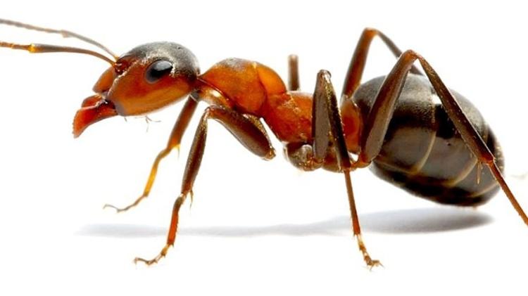 Mordida de formiga - Reprodução/Bluebird - Reprodução/Bluebird
