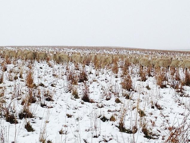 """10.nov.2015 - Ao se aproximar e registrar imagens de outros ângulos, a fazendeira Liezel Kennedy vai revelando aos poucos as ovelhas """"escondidas"""" em sua fazenda, na província de Saskatchewan, no Canadá. As imagens viralizaram após o Buzzfeed canadense republicar as fotos desafiando seus leitores da encontrarem as ovelhas"""