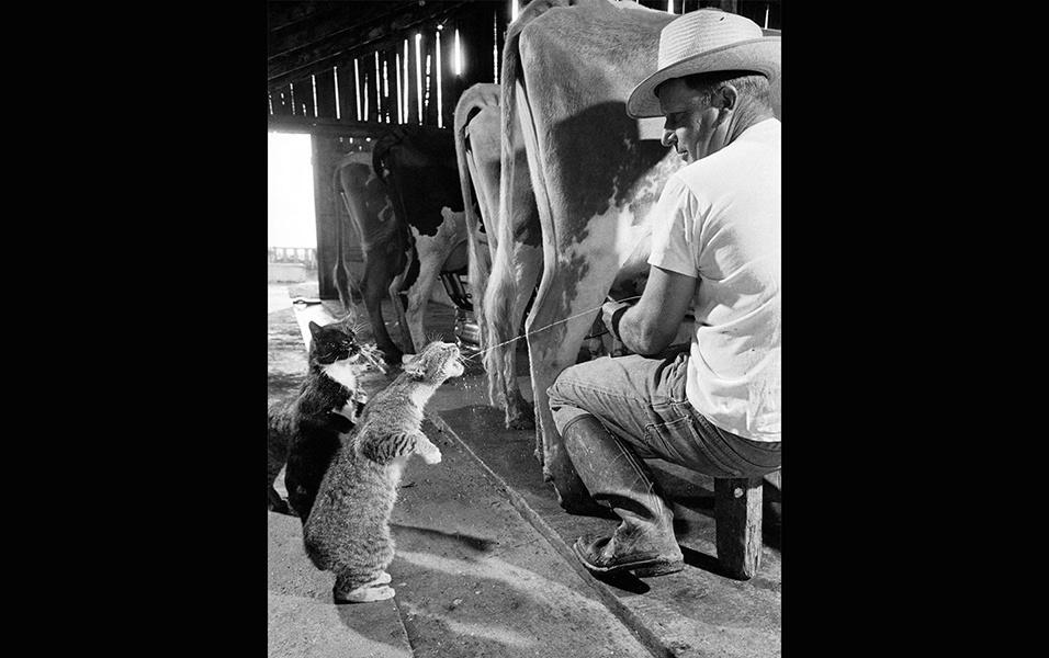 Gatinho se esbalda com jato de leite direto da fonte. Foto de 1954
