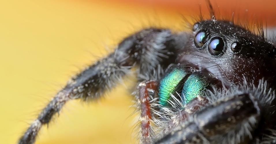 9. Aranhas inoculam veneno em suas vítimas através das quelíceras, par de apêndices localizados ao lado da boca