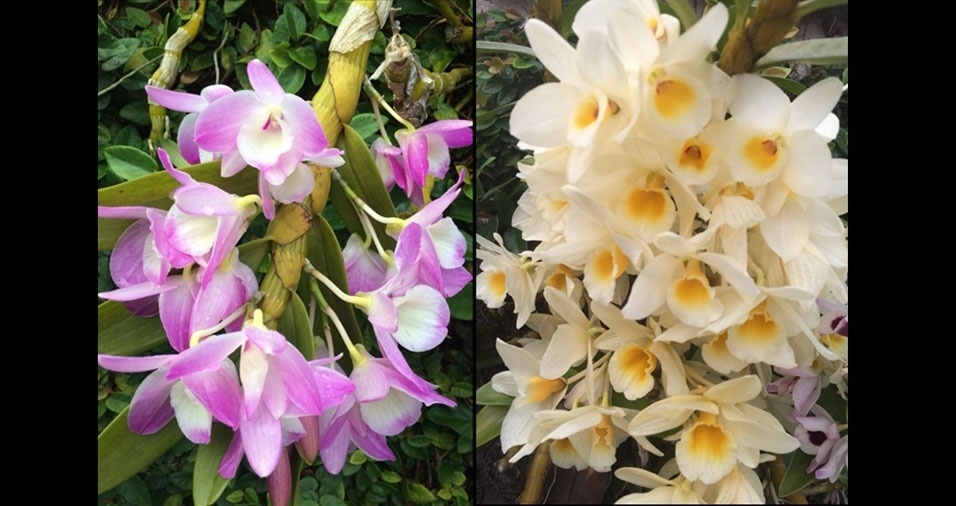 Paulo Camporesi, de São Paulo (SP), enviou fotos de suas orquídeas