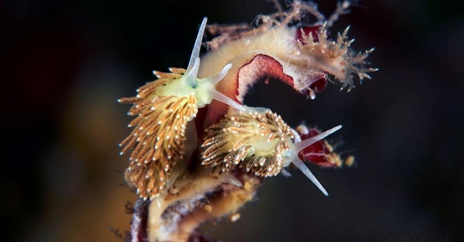 16. Cuthona viridis