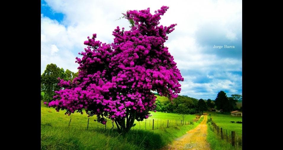 """Jorge Barca, de São José do Rio Preto (SP), conta: """"Em viagem pelo Paraná, ao passar pela cidade de Ventania, fiquei surpreendido por esta planta florida que enfeitava o caminho e registrei a mesma nesta imagem. Trata-se de uma primavera, um arbusto de nome científico Bougainvillea"""""""